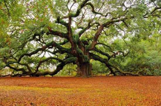 historic-angel-oak-tree