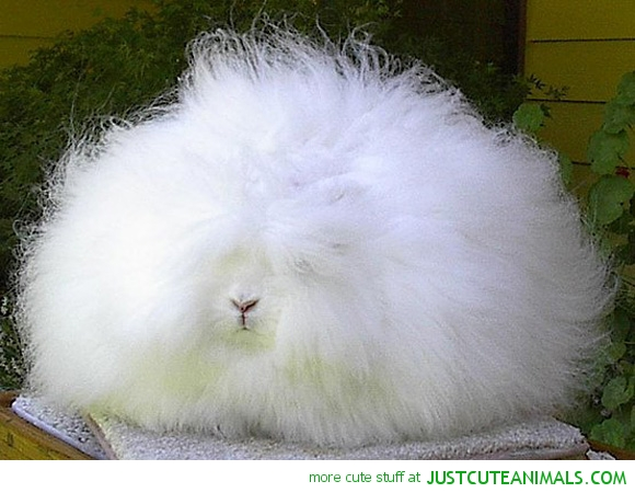 cute-animals-angora-bunny-fluffy-rabbit-pics