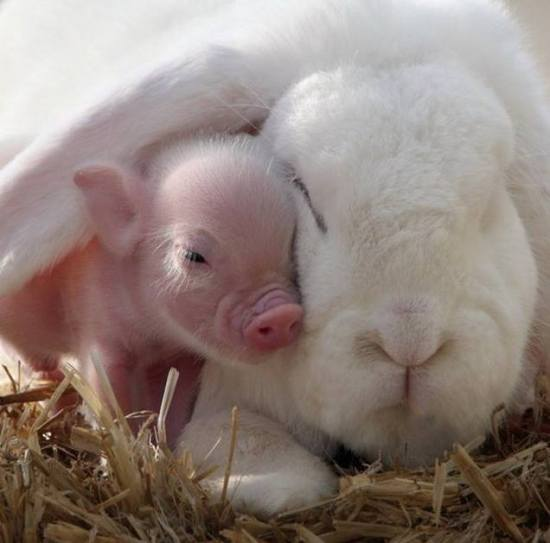 teacup-pig-snuggles-under-the-ear-of-a-rabbit